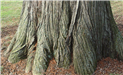 Bald Cypress (Taxodium Distichum)