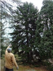 Red Spruce (Picea Rubens) at West Virginia University Core Arboretum