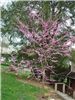 Redbud (Cercis Canadensis) at South Park