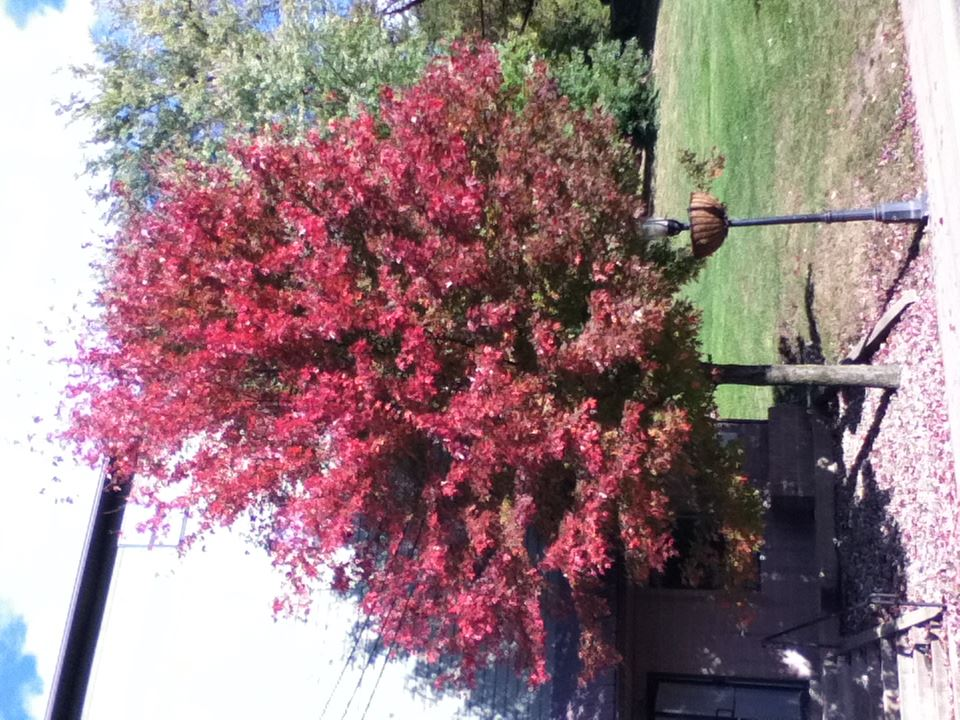 Local Red Maple