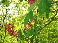 Red Buckeye (Aesculus Pavia)